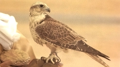 Pakistan seizes hunting falcons 'from Qatari royal'
