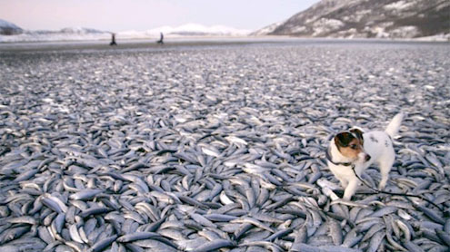 20 tons of herring wash up on Norway coast