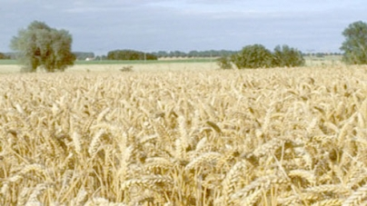 1.3m tonnes wheat to be procured in Sindh