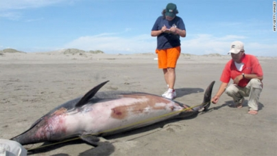 Mystery surrounds deaths of 877 dolphins washed ashore in Peru
