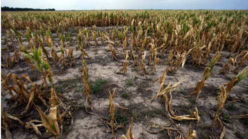 Water shortage destroying crops