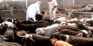 Soaring sheep prices in Saudi Arabia as Eid al-Adha approaches