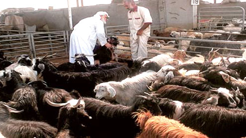 Soaring sheep prices in Saudi Arabia