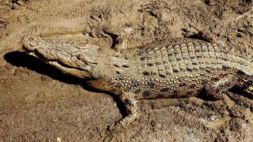 Crocodile takes man in Australia