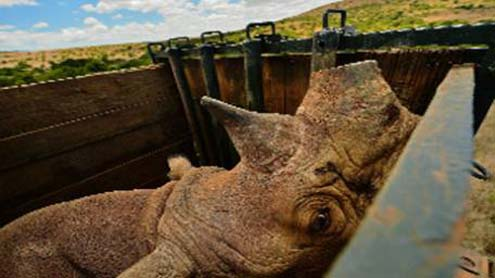 Permit to Kill Namibia Black Rhino Fetches $350k in US