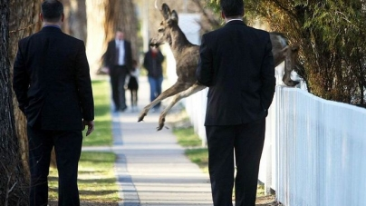 Oh Deer! Bambi Surprises Governor on Walk