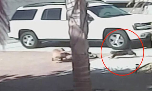 Cat Save Child From Attack