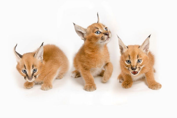 old caracal kittens