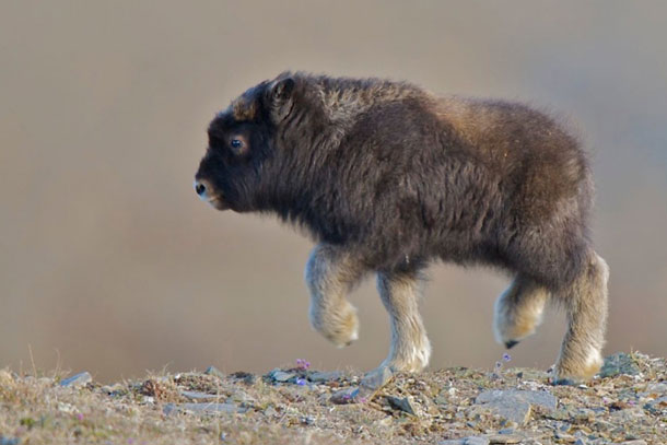 Musk ox baby