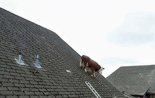 Cow stuck on ROOF