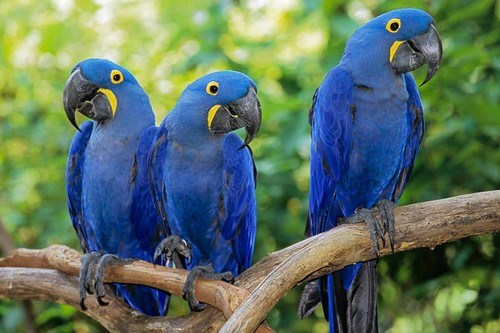 Hyacinth Macaw images