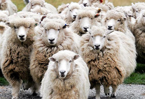 Sheep genome