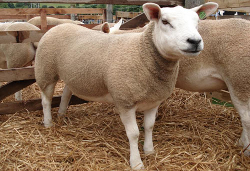 Sheep Genome Shows links Between Wool Health Study
