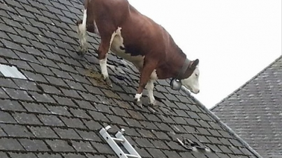 Cow Gets Stuck on roof in Switzerland
