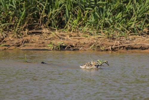 Jaguar Cuiaba River
