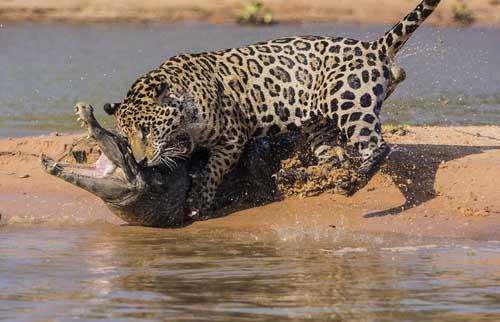 Jaguar Justin Black witnessed attack