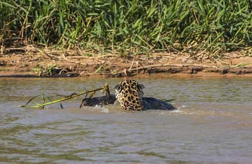 Jaguars photos