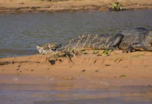 Jaguar caiman relaxes