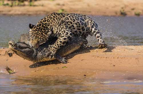 jaguar attacked