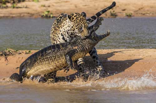 Jaguar Stalking and Ambushing a Crocodile from the Water in Brazil