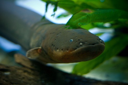 Electric Eel Fish