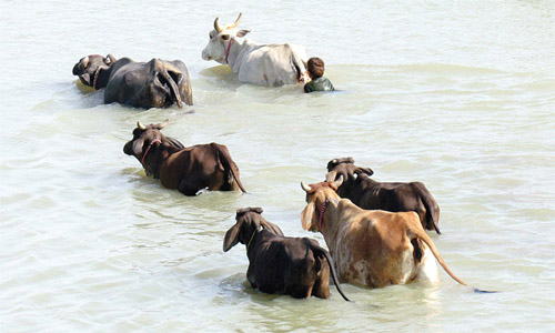 Cow Flood water