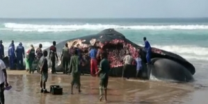 Beached Whale Torn Apart By Locals