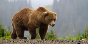 Man in Bear Costume Caught Harassing Real Bears
