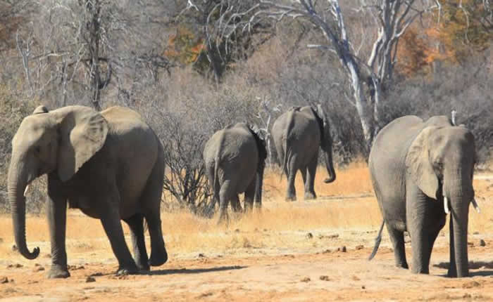 Huge Zimbabwe elephant killed