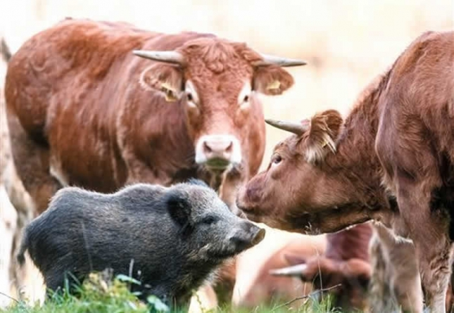 Little Wild Boar Finds New Family With Herd Of Cattle