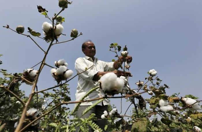 India's cotton glut