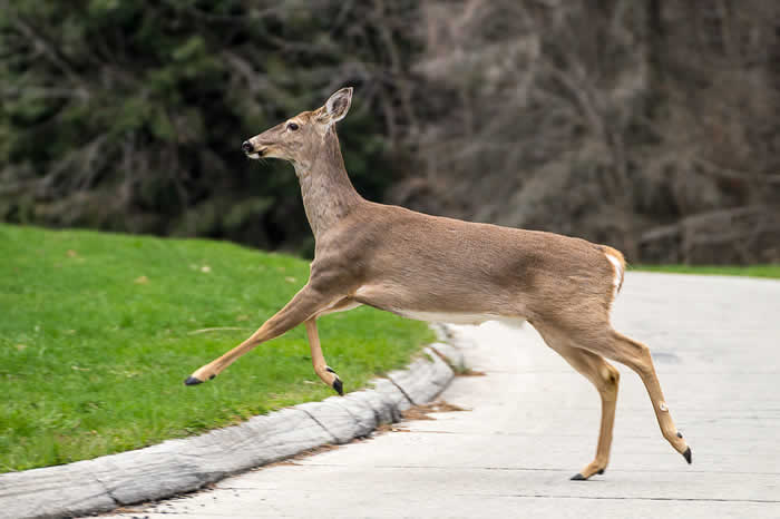 Plane kills deer during