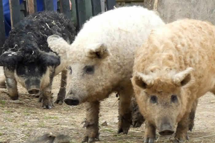 Magalitsa or Sheep-pig