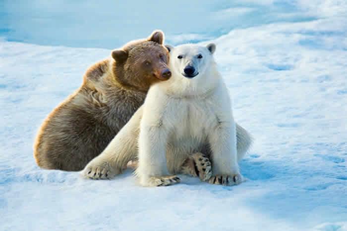 Grolar Bear or Pizzly
