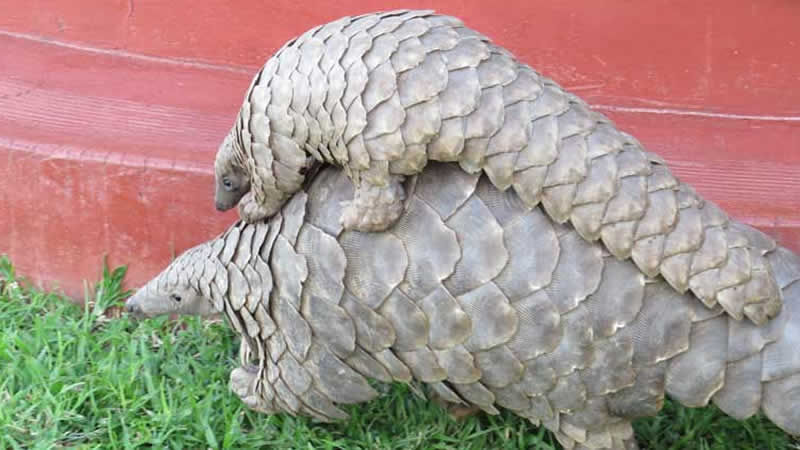Excitement as pangolin is sighted in Karachi