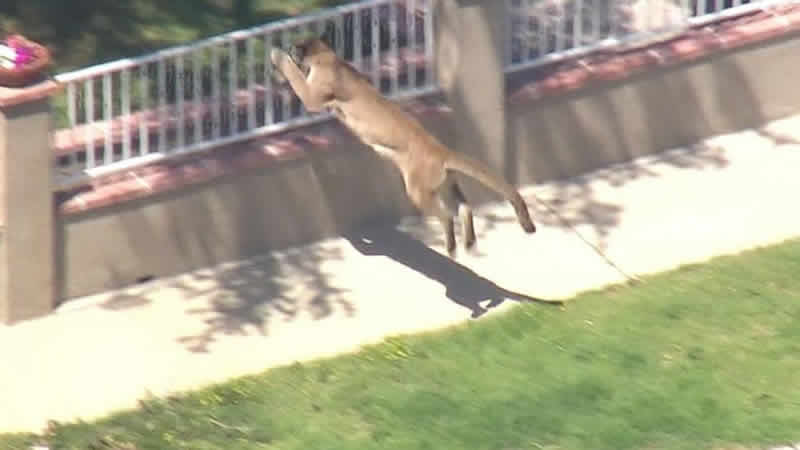 watch Video Mountain lion dashes from Los Angeles school to backyard