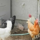 Chicken Scent Offers Hope For Malaria Prevention