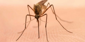 West Nile Virus Epidemics Made Worse By Drought: Study