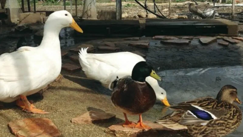 No, China is Not Sending Pakistan a 100,000 Ducks