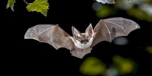 Virulence of Bats-Caused Diseases