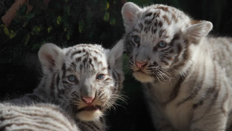 Lahore Tiger Cubs May have Died due to COVID-19