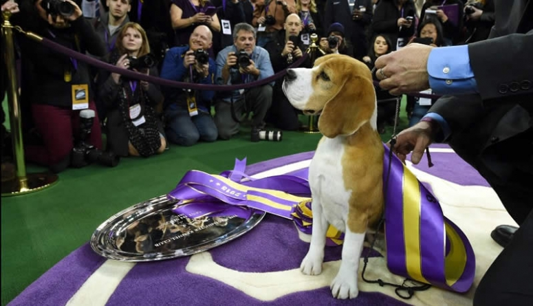 Watch Video: Beagle Named Miss P Wins 139th Westminster Dog Show
