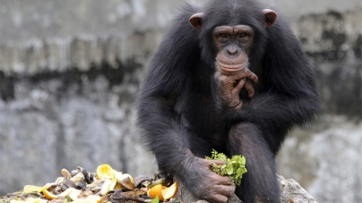US court: Chimpanzees have no Human Rights