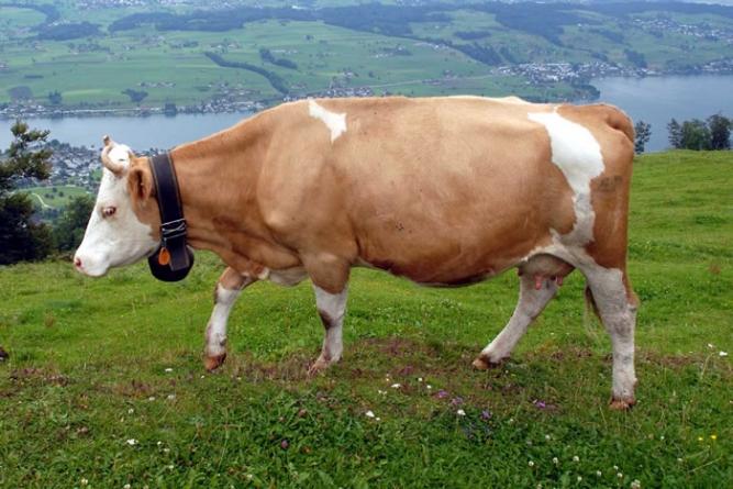 Indian State Of Maharashtra Bans Beef