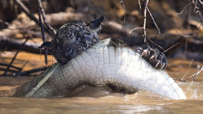 Watch Video: Jaguar Catches Caiman in Spectacular Footage from Brazil