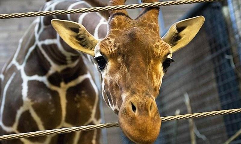 Last Giraffe