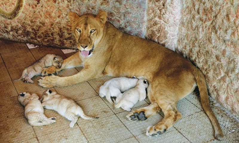 lioness gives birth cubs