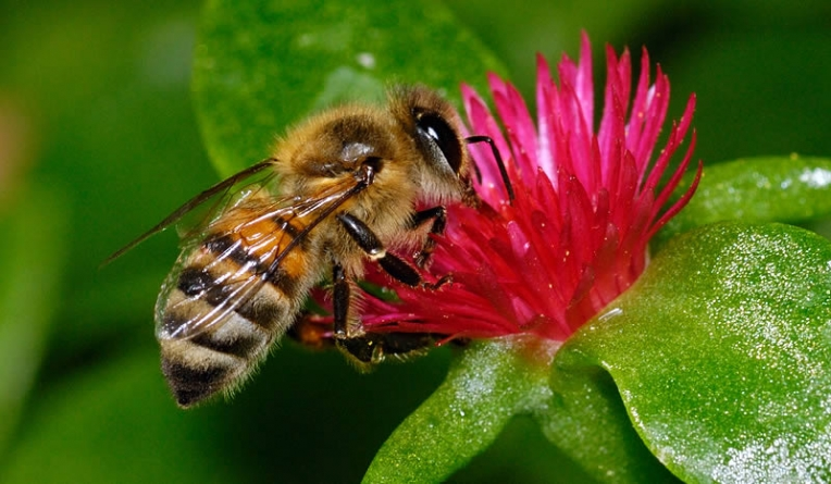 Nature's 'Medicine Cabinet' Fights Bee Disease: Study