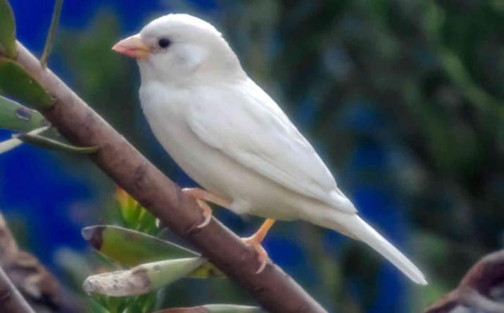 Rare Albino Sparrow Spotted in Australia