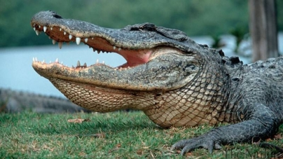 Texas Alligator Kills Late Night Swimmer